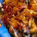 Changing Maples by John Haldane