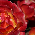 Charisma Roses 2 by LKB Art and Photography