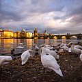 Charles Bridge, Prague With Swans by Adam Stocker
