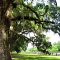 Charleston Oaks 5 by Alan Hausenflock