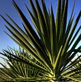 Charleston Yucca by Dustin K Ryan