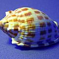 Checkered Helmet Seashell by Frank Wilson