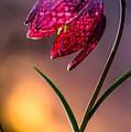 Checkered Lily by Joe Mamer