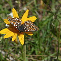 Checkerspot On Bahai Aster 1 by Ron Glaser