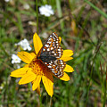 Checkerspot On Bahai Aster 2 by Ron Glaser