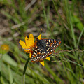 Checkerspot On Bahai Aster 4 by Ron Glaser