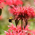 Checking The Bee Balm  by Cathy Beharriell