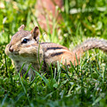 Cheeky Chipmunk by Dawna Moore Photography