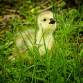 Cheeky Duckling  by F Helm