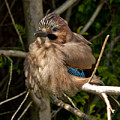 Cheeky Jay by Dawn OConnor