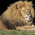 Cheeky Lion by James McHugh