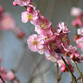 Cheerful Cherry Blossoms by Living Color Photography Lorraine Lynch