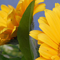 Cheerful Gerbera Daisies by Amy Fose