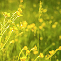 Cheery Buttercups by Amy Sorvillo