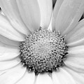 Cheery Daisy - Black And White by Angela Rath