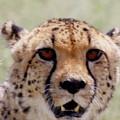Cheetah No.1 by Robert SORENSEN