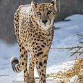 Cheeta by Sue Matsunaga