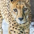 Cheeta Up Close by Sue Matsunaga