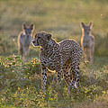 Cheetah Acinonyx Jubatus And Jackals by Panoramic Images