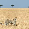 Cheetah Acinonyx Jubatus In Plains by Panoramic Images
