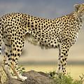 Cheetah Acinonyx Jubatus On Termite by Winfried Wisniewski
