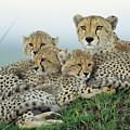 Cheetah And Her Cubs by Yva Momatiuk John Eastcott