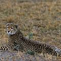 Cheetah At Rest by Sandra Bronstein
