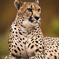 Cheetah Beauty by Chad Davis
