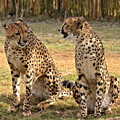Cheetah Chat 2 by Carol  Bradley