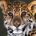 Cheetah by Craig Incardone