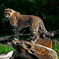 Cheetah Cub Finds Her Pride Rock by Miroslava Jurcik