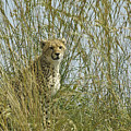 Cheetah Cub In Grass by Michele Burgess