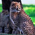 Cheetah Cub by Miroslava Jurcik