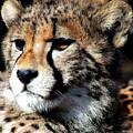 Cheetah by Ellen Henneke