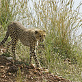 Cheetah Exploration by Michele Burgess