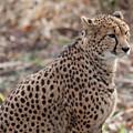 Cheetah by Gary Hancock
