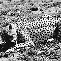 Cheetah by Granger