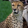 Cheetah by Heather Coen