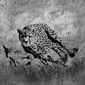 Cheetah Hunting Deer  by Gull G
