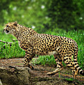 Cheetah by John Christopher