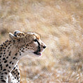 Cheetah by Marcus Best