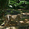 Cheetah On The In The Forest 2 by Douglas Barnett