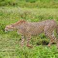 Cheetah On The Prowl by Morris Finkelstein