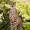 Cheetah Overlook by Chad Davis