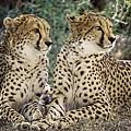 Cheetah Pair by Dawn Van Doorn