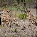 Cheetah Party I by Mari van Bosch