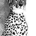 Cheetah by Pat Huggins
