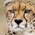 Cheetah Portait by Randy Gebhardt