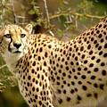 Cheetah Portrait by Gunther Allen