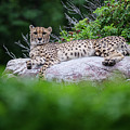 Cheetah Rests On A Rock by Steve Somerville